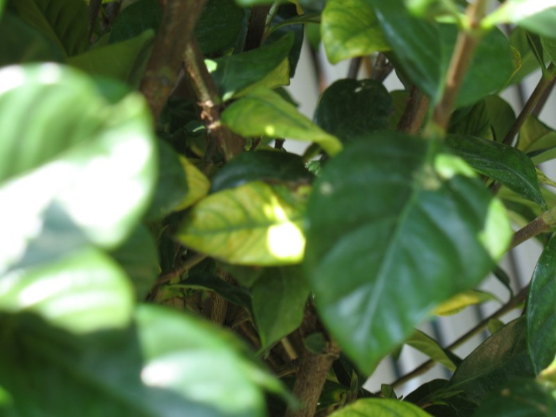 Large Of Gardenia Yellow Leaves