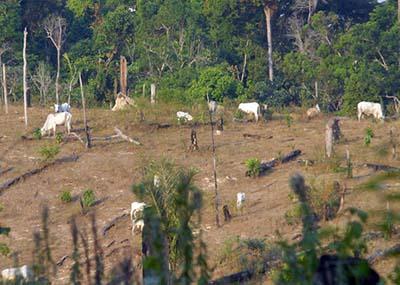Criação-de-gado-em-área-desmatada-da-Amazônia