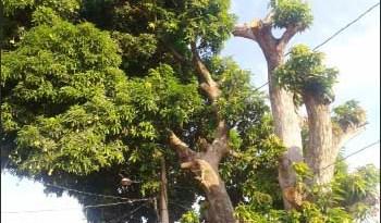 Uma-mangueira-antiga-ameaça-fiação-elétrica-e-casas-do-Residencial-Muiraquitã