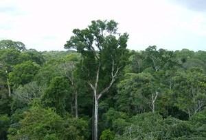 amazonica