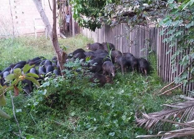 porcos_em_quintal