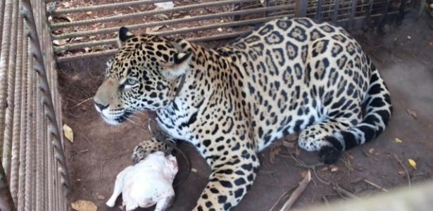 Depois de tratamento no interior paulista, onça voltará à Amazônia