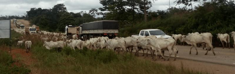 Bovinos sendo transportados por comitiva na rodovia BR-163