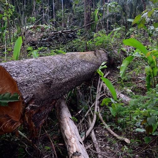 Tronco derrubado por desmatadores na Floresta Nacional do Jamanxim em Novo Progresso, Pará. (Foto: Vinícius Mendonça  Ibama) Parques de Papel