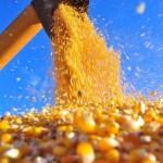 Milho e Arroz finaliza colheita de grãos em Novo Progresso