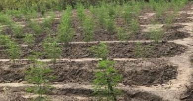 maconha plantação