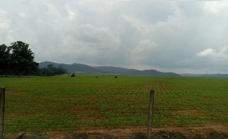 Área de pastagem com soja em Novo Progresso (Foto Jornal Folha do Progresso)