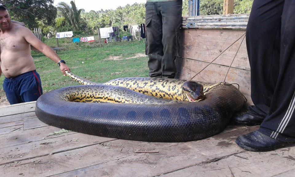 Morador mata cobra de cinco metros com 100 filhotes na rodovia Transamazônica no Pará