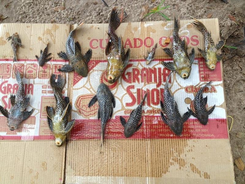 Treze peixes que estavam acondicionados em sacolas plásticas dentro de caixas de papelão morreram (Foto: Semma/Divulgação)