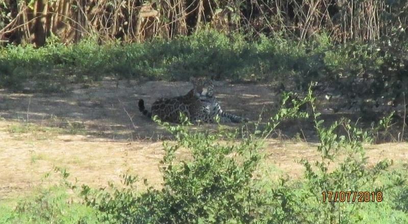 Segundo a Sema, o animal é uma fêmea possivelmente prenhe (Foto: Wagner Antonio de Souza Jr/Arquivo Pessoal)