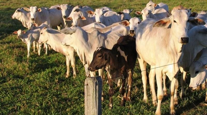 aftosa bovino