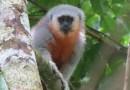 Pesquisadores descobrem nova espécie de macaco no MT
