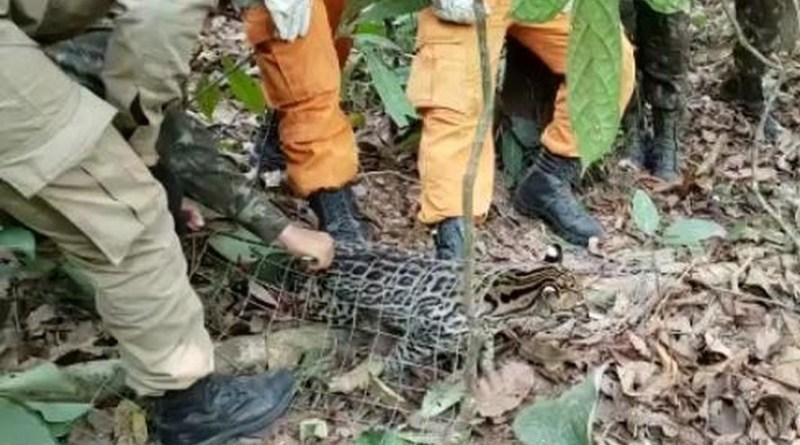 Jaguatirica resgatada em residência de Novo Progresso é solta na Floresta do Jamanxim