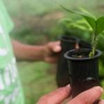 Produtores de Novo Progresso Rurópolis, Aveiro, Itaituba, Trairão são beneficiados com 30 mil mudas de citrus
