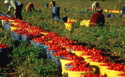 pomodori_raccoglitori2