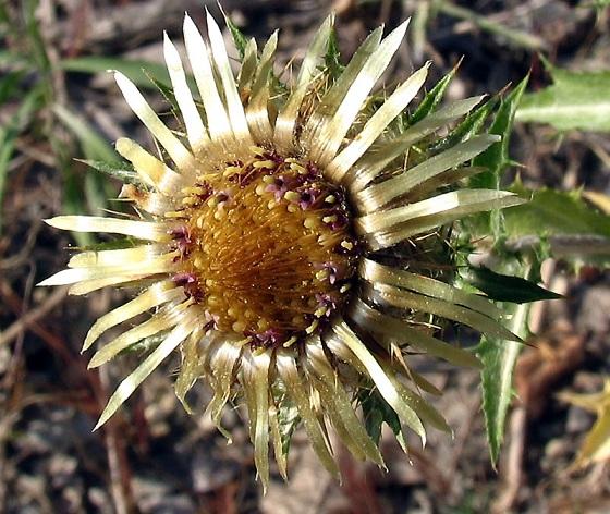 immagine tratta da http://www.actaplantarum.org/acta/galleria1.php?id=2399