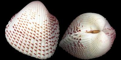 immagine tratta da http://www.idscaro.net/sci/01_coll/plates/bival/pl_cardiidae_1.htm