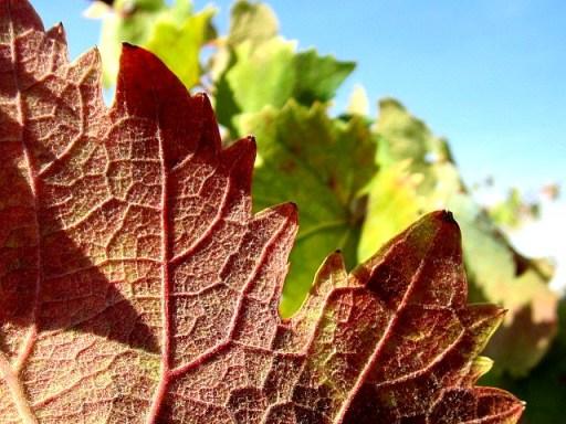 vino e foglie 067