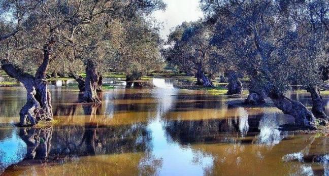 Gli stupendi uliveti acquitrinosi del cuore del bassoSalento, beni paesaggistici da-tutelare, foto di Giovanni Enriquez