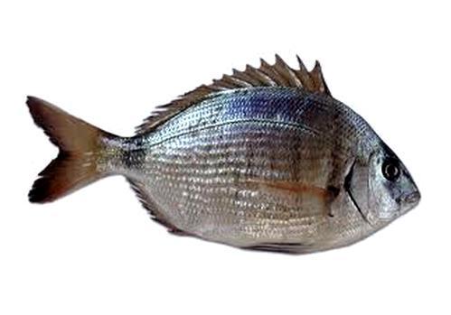 Saraghi & Co., i pesci più pregiati dei mari del Salento (I parte)