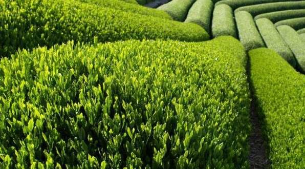 tea piantagione