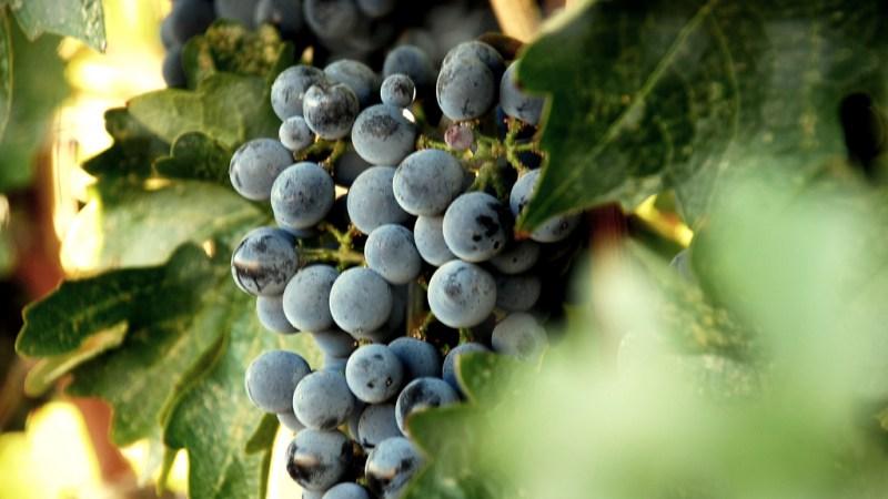 Walla Walla Grapes