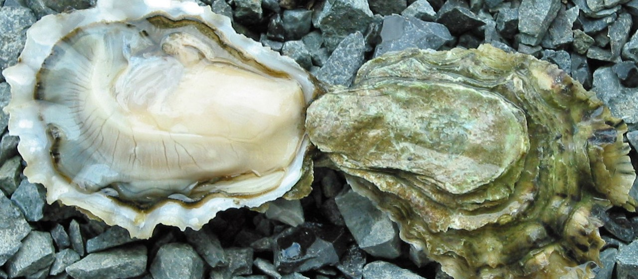 Image result for What Are Oysters?