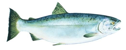 coho-alaska-salmon