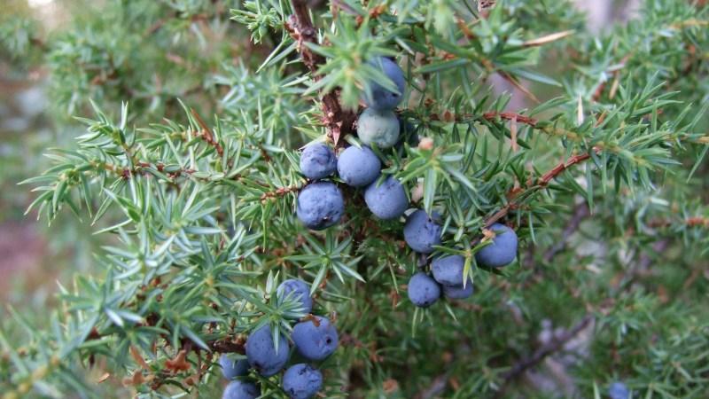 A fungal disease is killing a majority of Scotland's juniper bushes. (Photo: khianti/Flickr.)