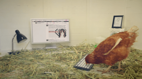 Betty the chicken is pecking her way to chicken history.