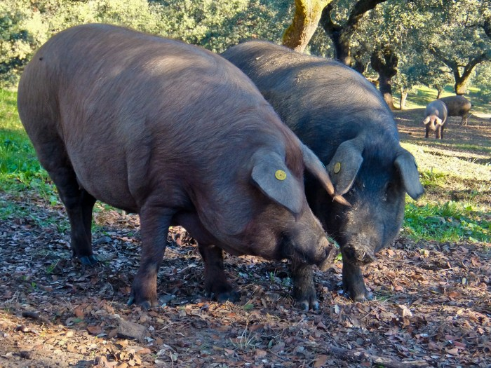 Two Iberico Pigs