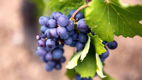 wine grapes, Provence, france.