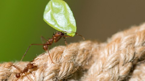 leaf-cutter ants grow their own food