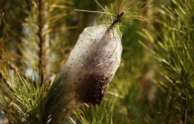 (GERMANY OUT) The cocoon-like nest of Pine Processionary Caterpillars (Thaumetopoea pityocampa) on a tree in the Alentejo, Portugal  (Photo by Forster/ullstein bild via Getty Images)