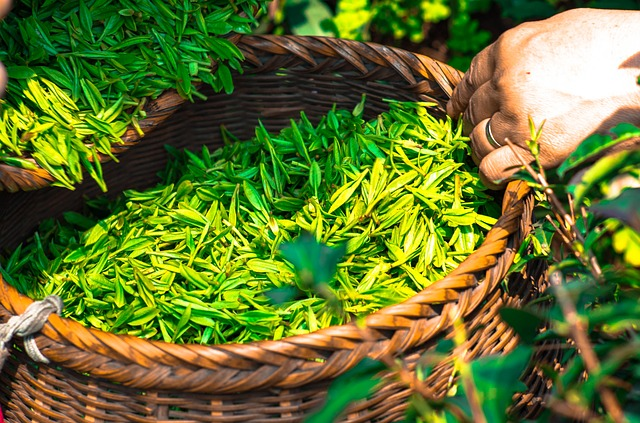Why Green Tea is Healthy for Weight Loss (2)