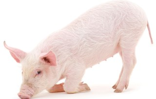 Young pig isolated on a white background.