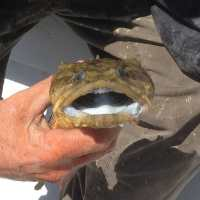 Fort Myers: 4/1/13 Fort Myers Fishing Report ~ dogfish, Chadwick's Bayou