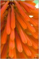 fleur orangew