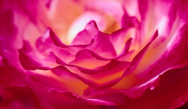 Crinkly Petals of a Bright Pink Rose