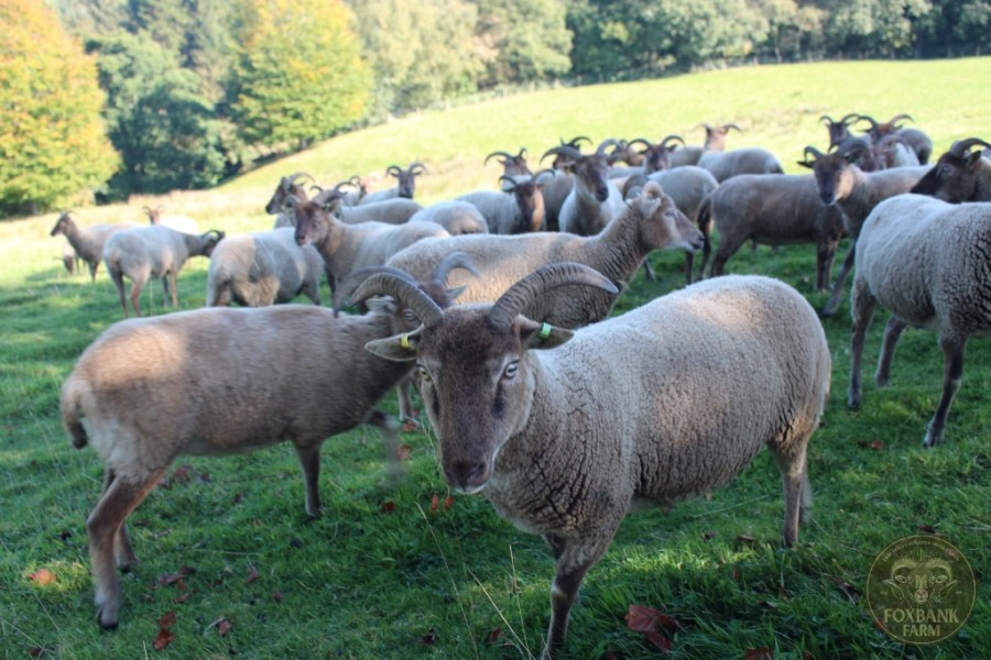 Castlemilk Moorit Sheep