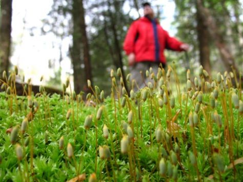 Moss sporangia on a cool May Morning at Rogers