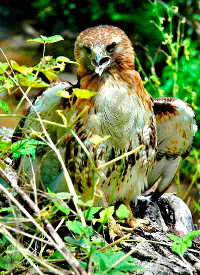 An injured redtail hawk on the banks of Goose Creek, 2004