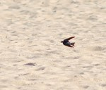 Cape Cod Swallow