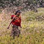 Locusts plague Madagascar