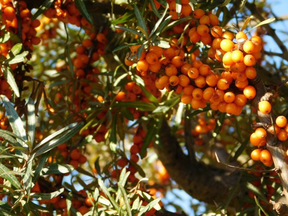 sea-buckthorn-982742_1920