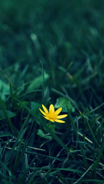 Small Yellow Flower In The Grass iPhone 6 / 6 Plus and iPhone 5/4 Wallpapers