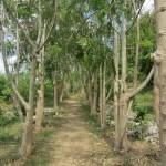 pathway through Moringa trees, Casa Blanca