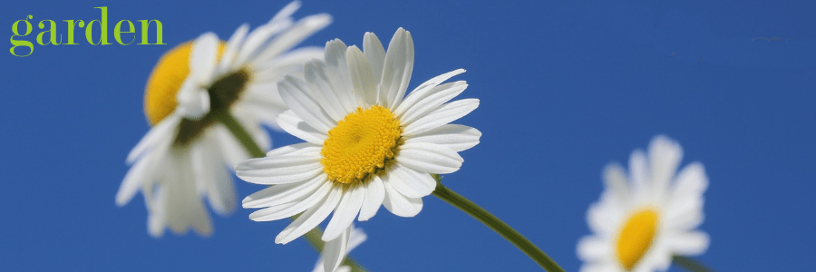 fresh domestic garden flowers daisy