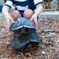 Visiting Hilton Head: Large un-snapping turtles & an evening in Harbour Town