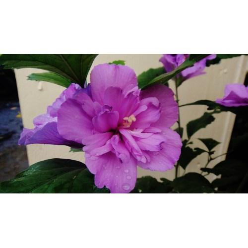 Medium Crop Of Rose Of Sharon Hibiscus